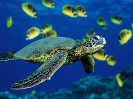 tortue en plongee